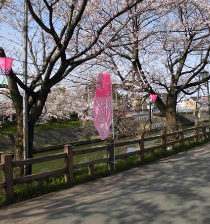 桜まつり のぼりを設置